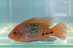 Redhead cichlid (synspila Vieja) Στοκ Εικόνες