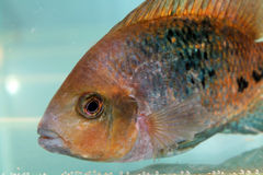 Redhead cichlid (Vieja synspila) Royalty Free Stock Photo