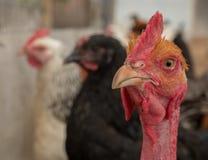 Redhead cock looks big Stock Image
