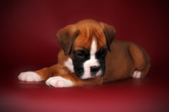 Redhead cute puppy of breed boxer Stock Photo