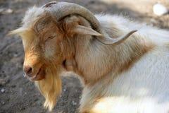 Redhead del retrato de la cabra y colores blancos de las lanas Imagen de archivo