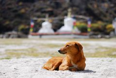 Redhead dog and buddhist stupas Stock Photography