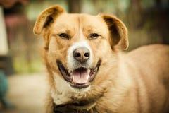 Redhead dog portrait Stock Image