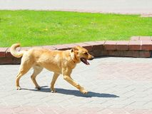 Redhead dog running through the park. From left to right royalty free stock images