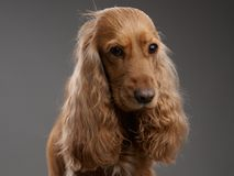 Redhead dog spaniel on a gray Stock Photography