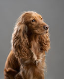 Redhead dog spaniel on a gray Stock Photos