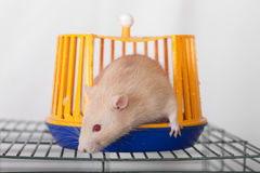 Redhead domestic rat Royalty Free Stock Photos