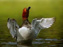 Redhead Duck Stock Image