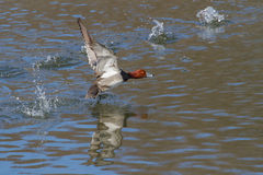 Redhead Duck Royalty Free Stock Photography
