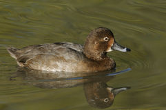 Redhead Duck Royalty Free Stock Photo