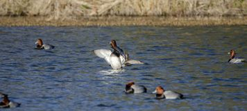Redhead Duck drake and hen on lake, Georgia USA. Redhead duck, Aythya americana, waterfowl flock on an open water blue lake. These sociable ducks molt, migrate royalty free stock photo