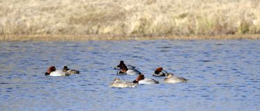 Redhead Duck drake and hen sleeping, Georgia USA. Redhead duck, Aythya americana, waterfowl on an open water blue lake. Bills tucked in feathers, sleeping. These stock image