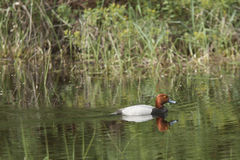 Redhead duck casts reflection. Stock Photos