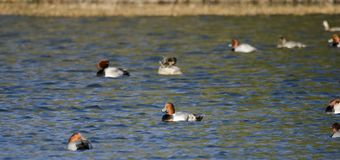 Redhead Duck drake and hen on lake, Georgia USA. Redhead duck, Aythya americana, waterfowl flock on an open water blue lake. These sociable ducks molt, migrate Royalty Free Stock Photos
