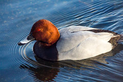 Redhead duck Royalty Free Stock Photos