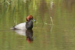 Redhead duck near Hauser Lake. Stock Image