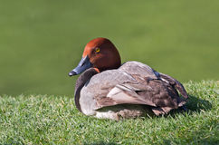 Redhead Duck Stock Images