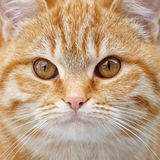 Redhead fluffy kitten face close up. Stock Photography