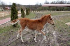 Redhead foal prances γύρω από την αυλή στοκ φωτογραφία με δικαίωμα ελεύθερης χρήσης