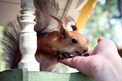 Redhead forest squirrel eating from hand at a feeding trough Royalty Free Stock Image