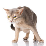 Redhead and gray cat abyssyn standing front isolatet on white Stock Photos