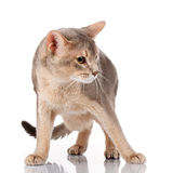Redhead and gray cat abyssyn standing front isolatet on white Royalty Free Stock Photos