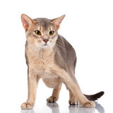 Redhead and gray cat abyssyn standing front isolatet on white Royalty Free Stock Photo