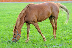Redhead horse Stock Images