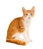 Redhead kitten sitting on white background Royalty Free Stock Images