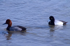 Redhead and Lesser Scaup male ducks Stock Photo