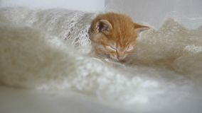 Redhead little cat kitten asleep wrapped in knitted shawl downy video stock footage