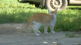 Redhead little kitten walking outdoors slow motion video stock video footage