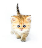 Redhead little kitten on white background Stock Images