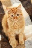 Redhead long hair kitten on a warm plaid Royalty Free Stock Photo
