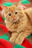 Redhead long hair kitten on a warm plaid Stock Photography