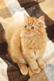 Redhead long hair kitten on warm plaid, close up Stock Photo