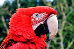 Redhead, Parrot. Green winged Macaw royalty free stock photography