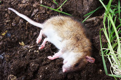 Redhead poisoned rat on the field Stock Photo