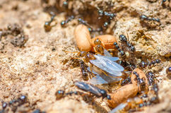 Redhead queen ant with wings leaves spring anthill. Stock Photography