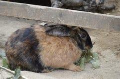 Redhead rabbit royalty free stock photo