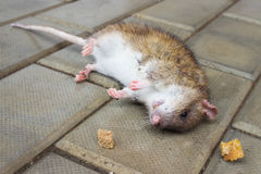 Redhead Rat poisoned by toxic bait Stock Photography