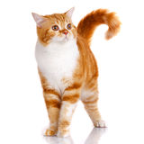 Redhead Scottish cat portrait Stock Photos