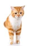 Redhead Scottish cat portrait Royalty Free Stock Photo