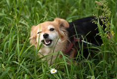 Redhead small dog eats grass on walk Royalty Free Stock Photos