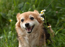 Redhead small dog standing in grass and daisies Royalty Free Stock Photo