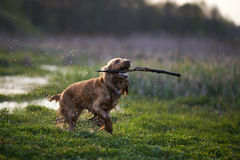 Redhead Spaniel dog running with a stick Stock Photography
