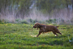 Redhead Spaniel dog running with a stick Stock Photo