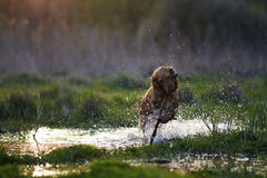 Redhead Spaniel dog running with a stick Royalty Free Stock Photos