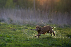 Redhead Spaniel dog running with a stick Stock Image