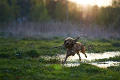 Redhead Spaniel dog running with a stick Royalty Free Stock Photo